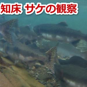 知床ウトロの川でサケの遡上が見える時期と場所について サーモンウォッチング